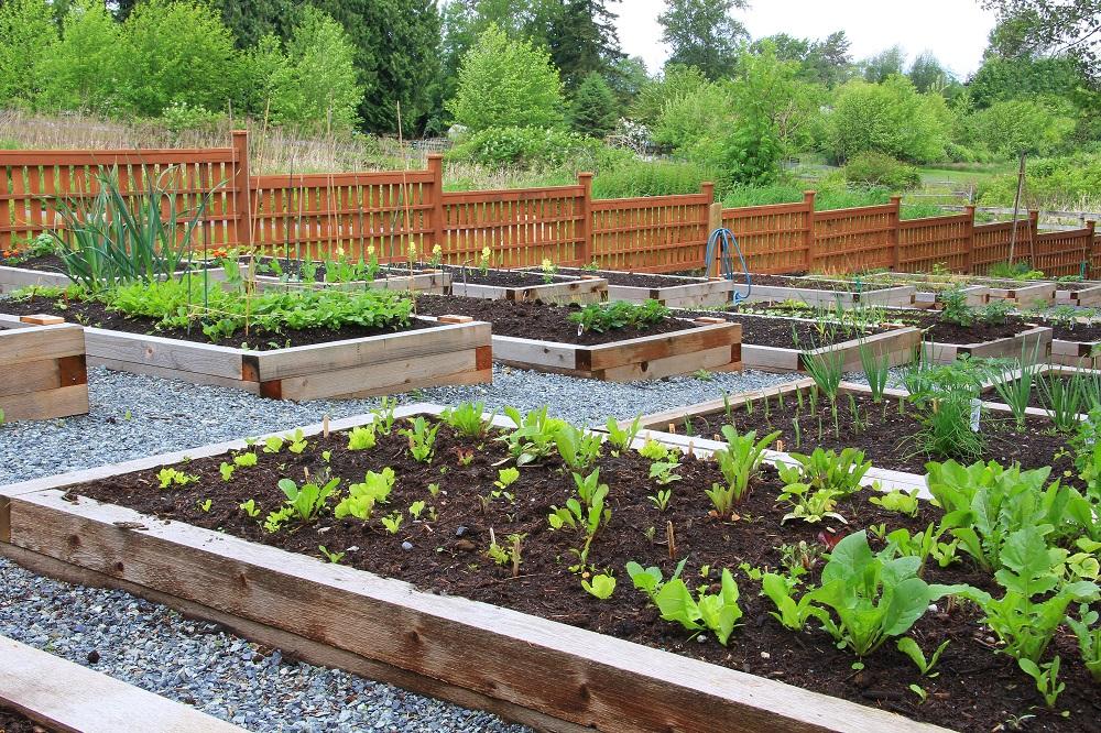 Growing of vegetable