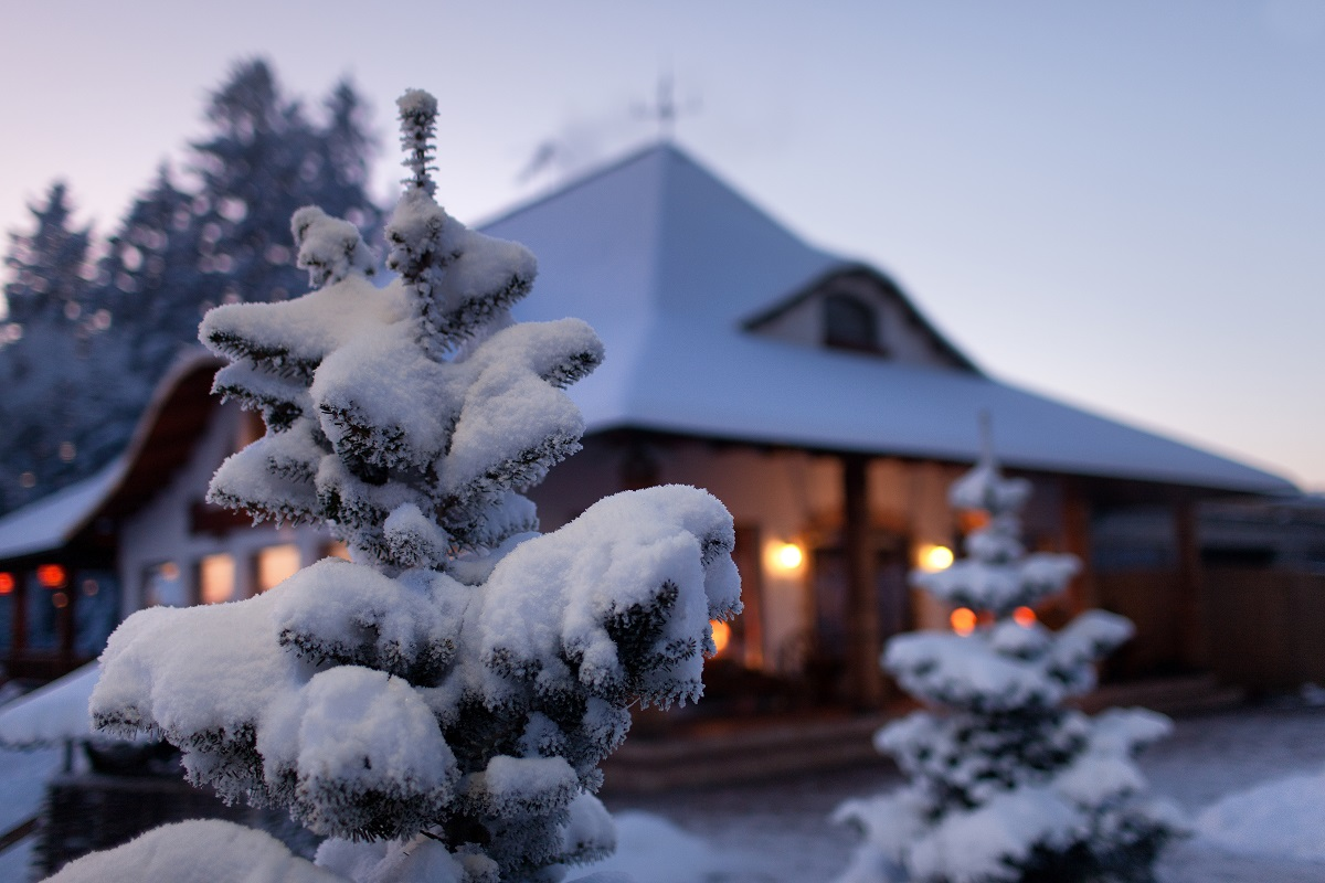 Spruce covered in snow with house in background